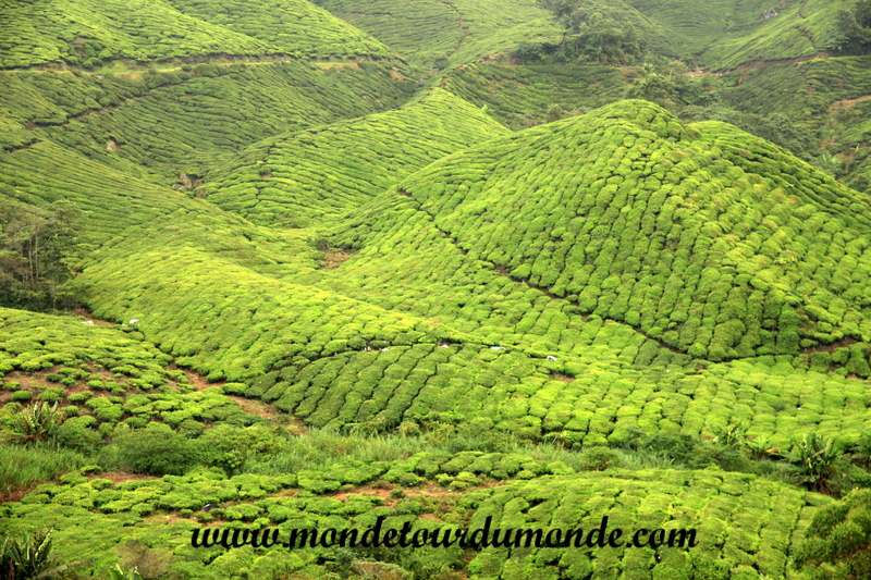 Cameron Highlands (67)