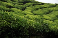 Cameron Highlands (28).JPG